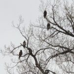 Fossil Lake Ranch Bald Eagles